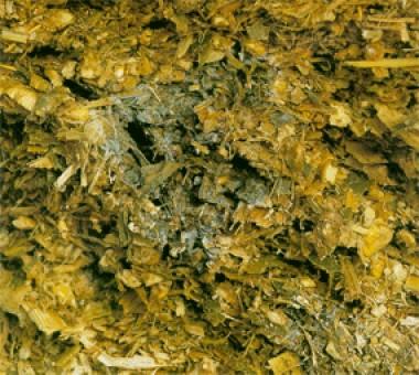 Mould - Penicillium roqueforti